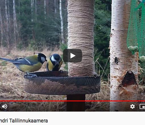 Kuvakaappaus lintukameran youtube-sivulta