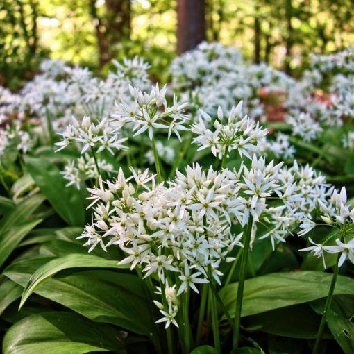 Vihreitä lehtiä ja valkoisia kukkia: kieloksi usein luultu karhunlaukka